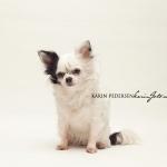 chihuahua_karin_foto_com7