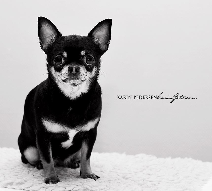 Chihuahua,korthår,fotograf,karinPedersen,karinfoto