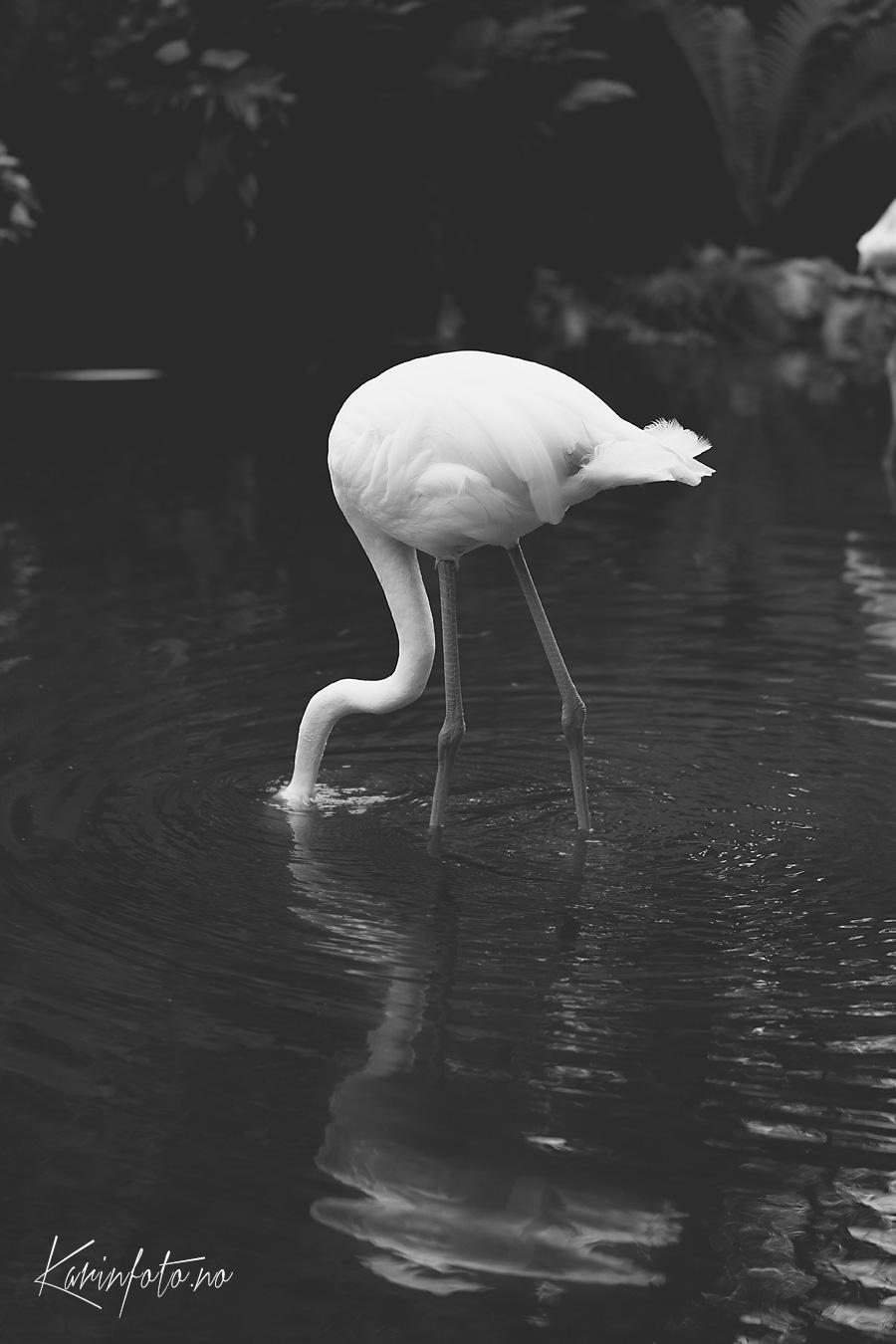 Flamingo,karinfoto,Fotograf,kristiansand,dyreparken,dyrepark,sorthvitt