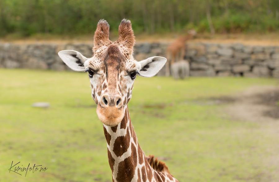 Giraff,kristiansand,dyrepark,dyreparken,