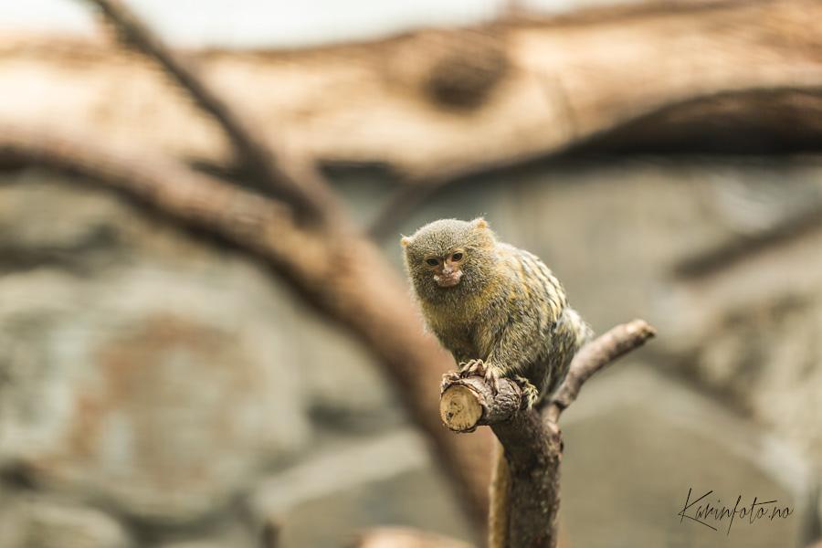 Vakker,liten,ape,dyreparken,kristiansand,karinfoto