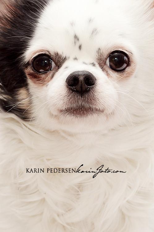 Chihuahua,langhår,fotograf,KarinPedersen,Karinfoto,sarpsborg,fredrikstad,moss,halden,oslo,vestfold,østfold