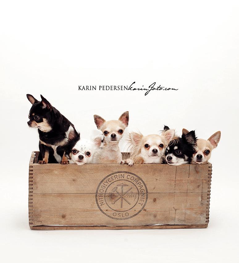 Chihuahua,fotograf Karin Pedersen,KarinFoto
