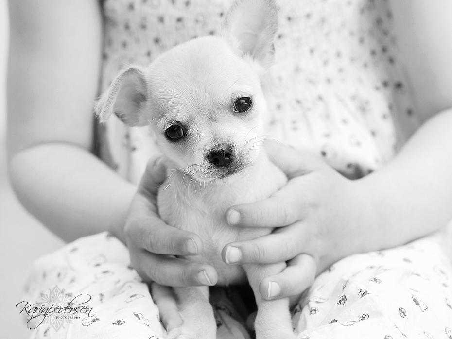 Chihuahua,korthår,valp,fotograf,karinPedersen,karinfoto