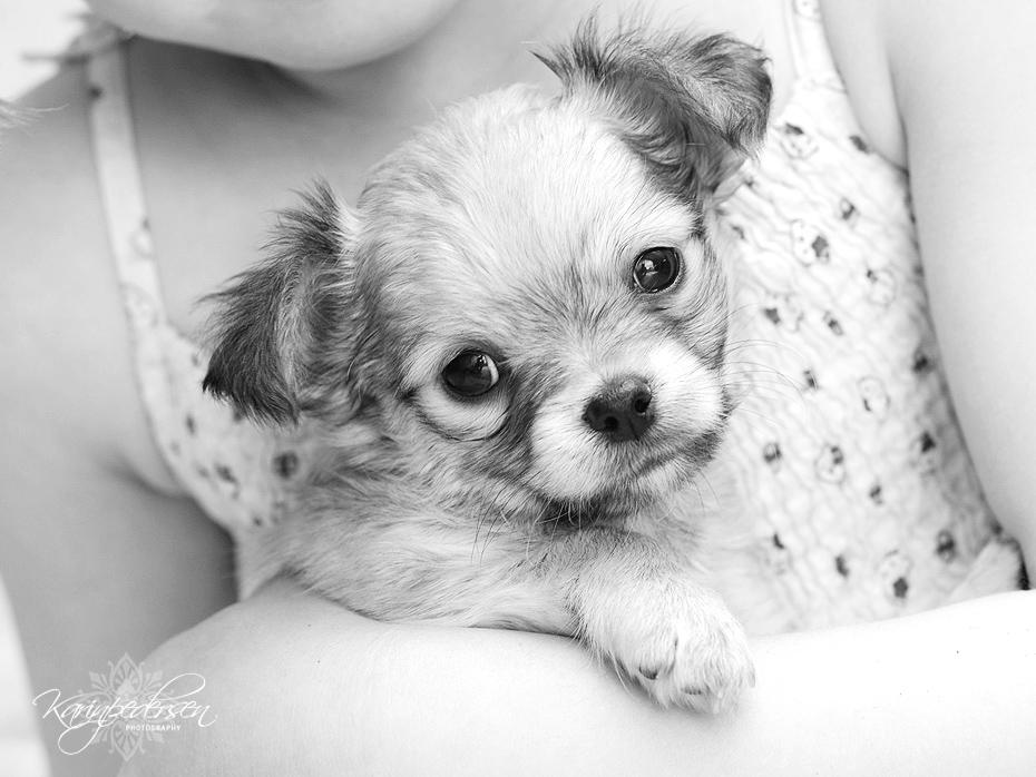 Chihuahua,langhår,valp,fotograf,karinPedersen,karinfoto